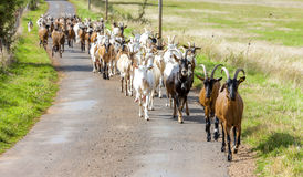 Goats. Herd of goats on the road, Aveyron, Midi Pyrenees, France Stock Photos