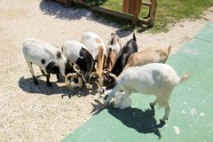 Goats herd stand in hape of circle eating  feed on farm.  Animals fun competition.  Stock Images