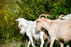 Goats. Herd of goats in a sunny autumn day stock photo