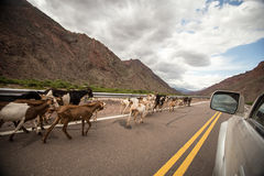Goats on the highway Royalty Free Stock Images