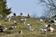 Goats on a Hill. Several domestic goats graze on a farm  hillside in Northern New Jersey Royalty Free Stock Photo