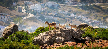 Goats on hills of Chefchouen - Morocco Stock Image