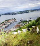 Goats on the hillside Stock Photography