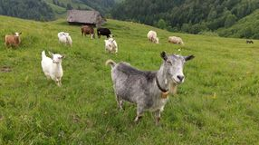 Goats on hillside in Romania Royalty Free Stock Images