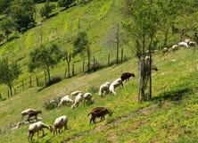 Goats on hillside - rural agriculture scene Stock Images