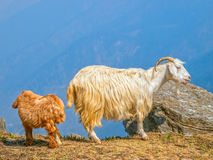 Goats in Himalaya Royalty Free Stock Photography
