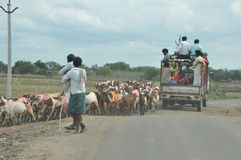 Goats hinderung traffic in India Royalty Free Stock Photography