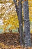 Goats hoard through the forest. In autumn season stock photos