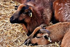 Goats, Horn, Goat, Fauna Royalty Free Stock Photo