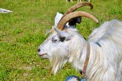 Goats, Horn, Goat, Feral Goat Stock Image