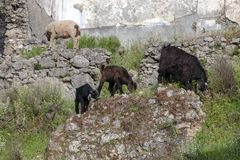 Goats In The Ruins Of Kayakoy Karmylassos Old Greek Village In Fethiye,Turkey Royalty Free Stock Photos