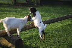 Goats jumped up on a wooden log. Royalty Free Stock Image