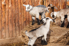 The goats Royalty Free Stock Images