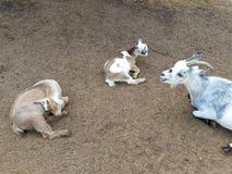 Goats. Kidding around the pwn Stock Photography