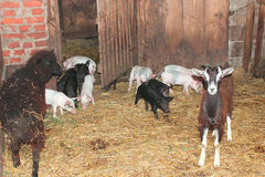 Goats with kids and piglets in the cattle-shed Stock Photography