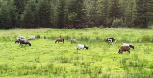 Goats and lambs grazing on the juicy grass of the forest royalty free stock images