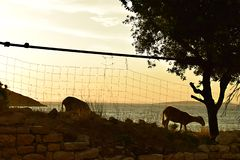 Goats likes sunset stock photography