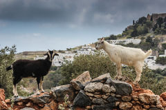 Goats in Lindos Stock Photography