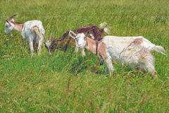 Goats in a lush meadow. Goats graze on a green lush meadow in tall grass Stock Photo