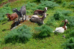 Goats lying - horizontal Stock Images