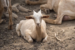 Goats lying resting Stock Photo
