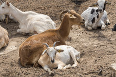 Goats lying resting Stock Images