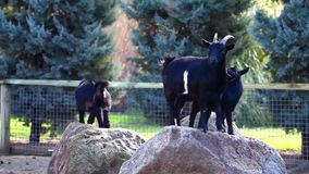 Goats Mammal Animal. In zoo video stock video footage
