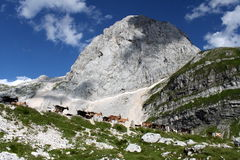 Goats on Mangart. After klettersteig and reaching top of Mangrt, we met herd of goats Royalty Free Stock Images