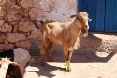 Goats on a market, morocco Stock Photo