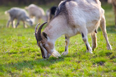 Goats on the meadow Stock Image