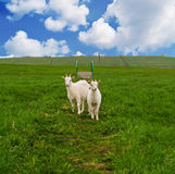 Goats on meadow royalty free stock photos