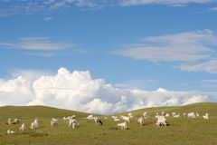 Goats in the meadow royalty free stock image