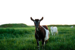 Goats on meadow Royalty Free Stock Photography