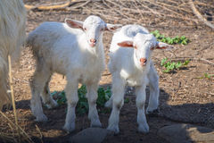Goats on the meadow of Crete Royalty Free Stock Photos