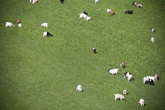 Goats in a meadow Stock Photos