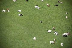 Goats in a meadow stock photos