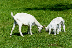 Goats on meadow Royalty Free Stock Images