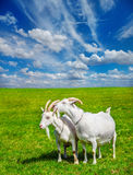 Goats in a meadow Stock Photo