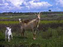 Goats in a meadow Royalty Free Stock Photo