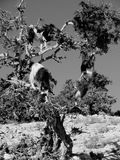 Goats. Morocco. Black and white. Goats on oil tree Stock Image