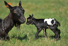 Goats - mother and her blind, newborn baby. Goats - mother  and her young blind newborn baby on meadow Stock Photos