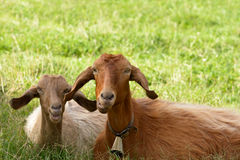 Goats Mother and Son Stock Images
