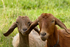 Goats Mother and Son Royalty Free Stock Image