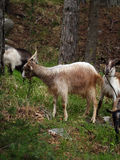 Goats on mountain Stock Photography