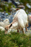 Goats on mountain Royalty Free Stock Photography