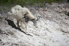Goats, Mountain Goat, Wildlife, Goat stock photo
