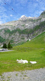 Goats on a mountain meadow Stock Images