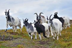 Goats on the mountain pasture Royalty Free Stock Images