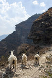 Goats on Mountain Path. Goats walking on a steep mountain path in Tiger Leaping Gorge in Yunnan Province, China Stock Photos