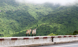 Goats on the mountain road Stock Image